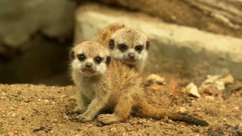 Thai zoo welcomes 4 meerkat babies