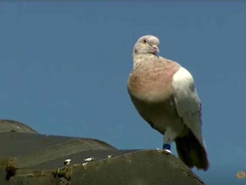 A US pigeon to 'face consequences' of illegal entry, says Australia