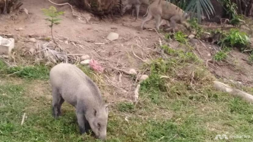 Wild boar sightings in Punggol not uncommon but rarely a problem: Residents