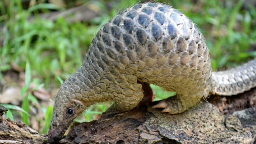 Man fined for picking up pangolin and placing it in another reservoir for 'safety' from ants