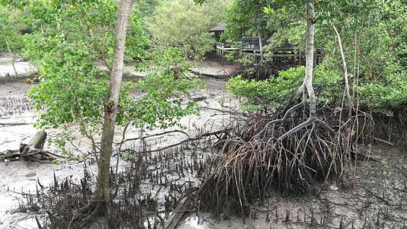 How Singapore's mangroves can contribute in the battle against climate change
