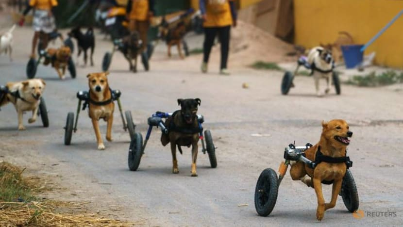 Thai shelter for disabled stray dogs threatened by COVID-19 pandemic