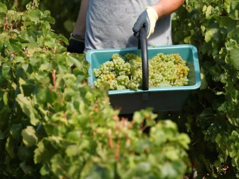 Happy drink in sad times: champagne-makers gather pandemic harvest