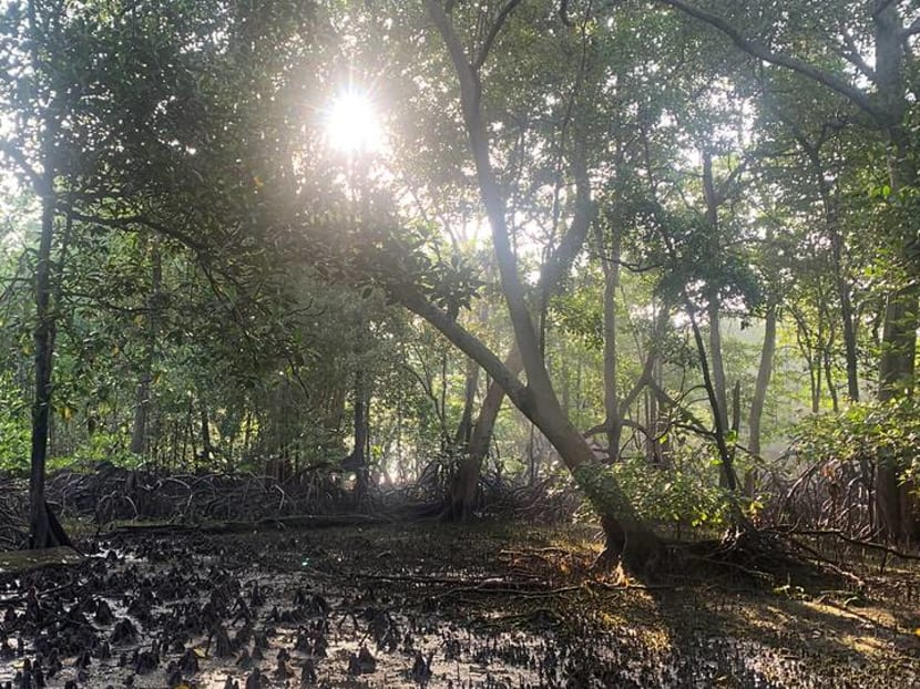 Commentary: Mangroves, a crown jewel of Singapore's coastline