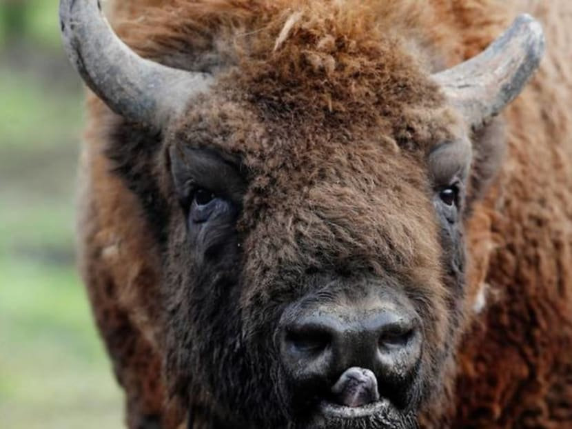 Wanted: bison rangers for woodland in the Garden of England