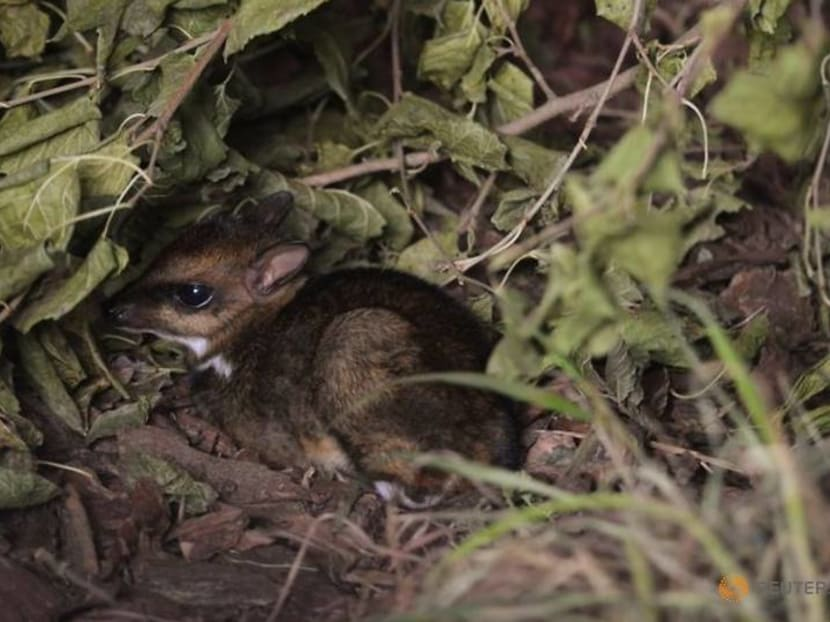 The size of a matchbox, a rare mouse deer is born on camera in Poland