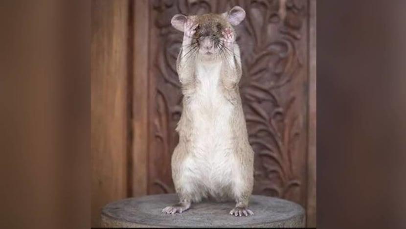 Rat-ical hero: Landmine detection rat Magawa wins gold medal for 'life-saving' work in Cambodia