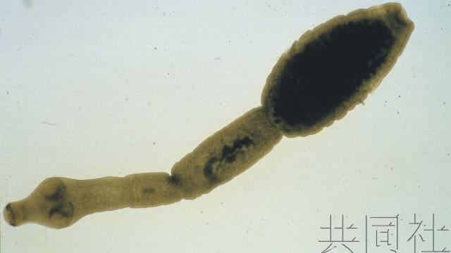 日本野狗发现感染棘球绦虫 进入人体或致肝功能障碍