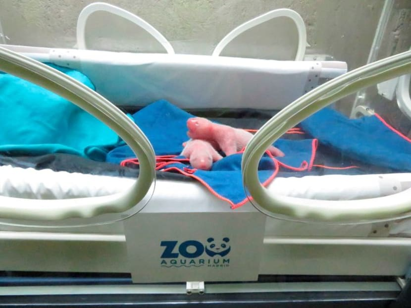 Squeaking, hairless and pink: twin giant pandas born at Madrid Zoo