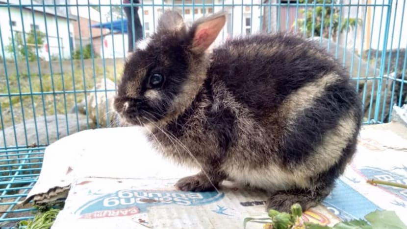 World's rarest rabbit rescued in Indonesia after it was put up for sale on Facebook