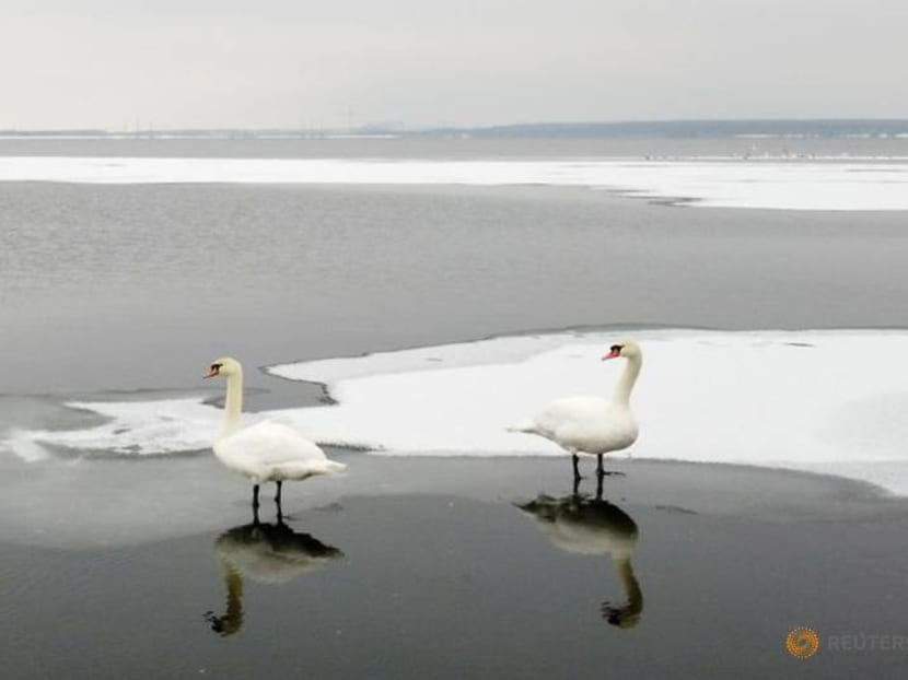 Swans bask in warm waters from Ukrainian nuclear plant during winter freeze