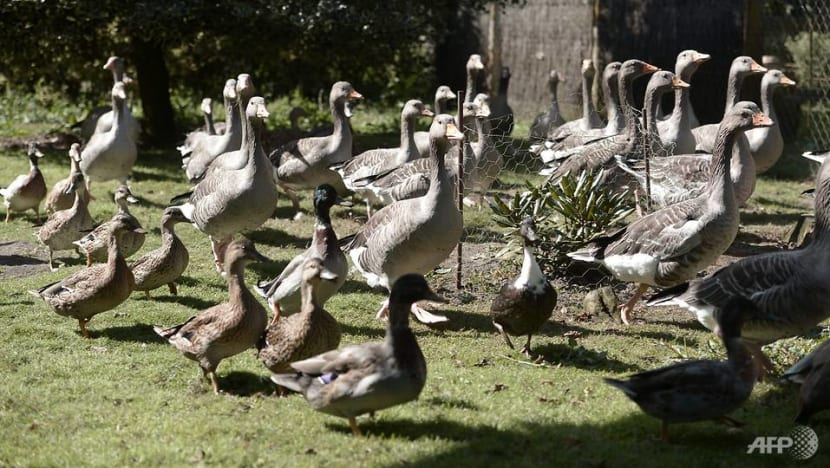 French ducks in the dock for quacking