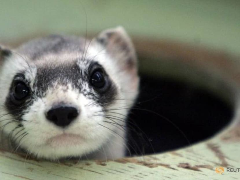 The first cloned ferret spurs hope for endangered US species