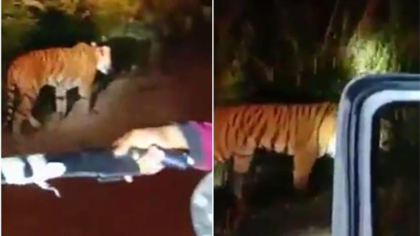 Malayan tiger roaming in Johor found dead