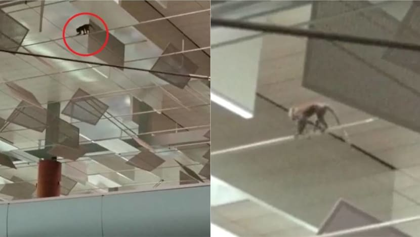 Monkey at Changi Airport Terminal 3 check-in hall captured