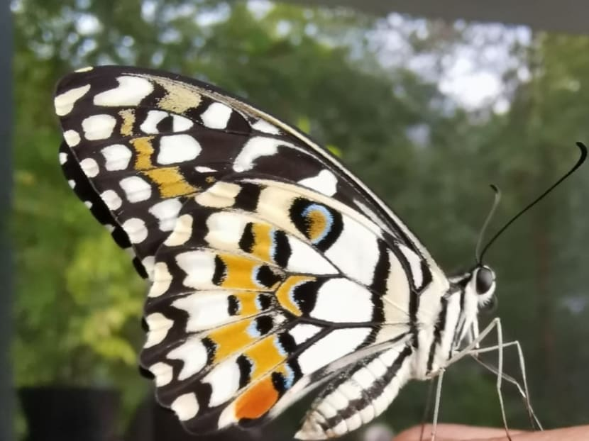 Commentary: Raising caterpillars has been a life-changing pandemic hobby