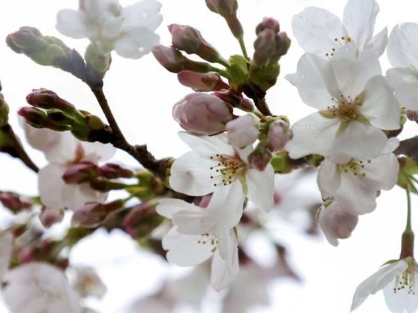 Kyoto's earliest cherry blooms in 1,200 years point to climate change, says scientist