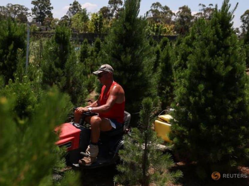 Australian Christmas tree farms run out as shoppers seek a merrier end to a tough 2020