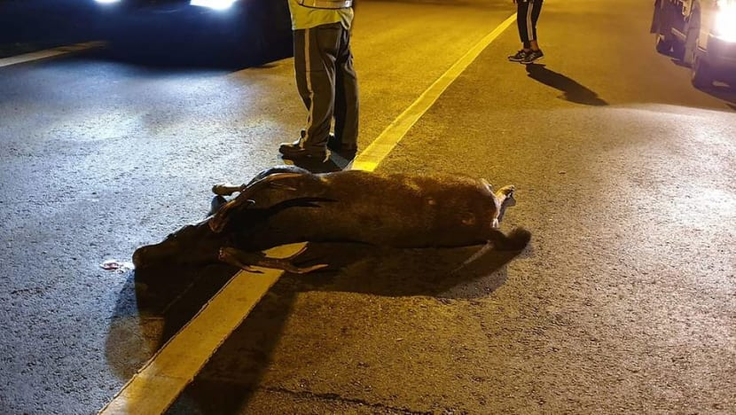 Deer dies in accident along Mandai Road