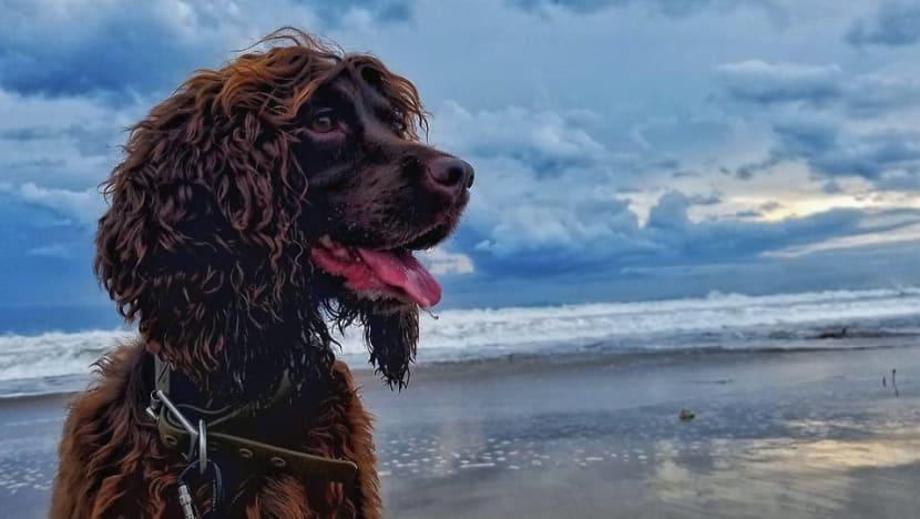Bailey, anjing pendeteksi satwa liar pertama di Indonesia