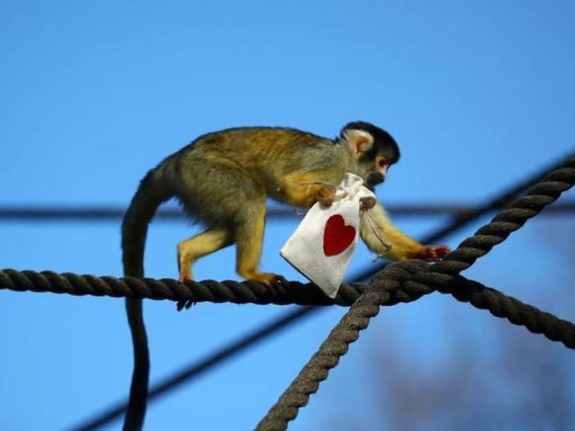Mealworm Valentine treats charm London Zoo's squirrel monkeys