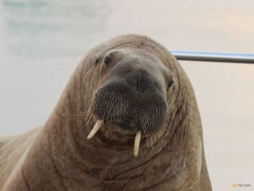 Where's Wally? Wandering celebrity walrus spotted in Iceland