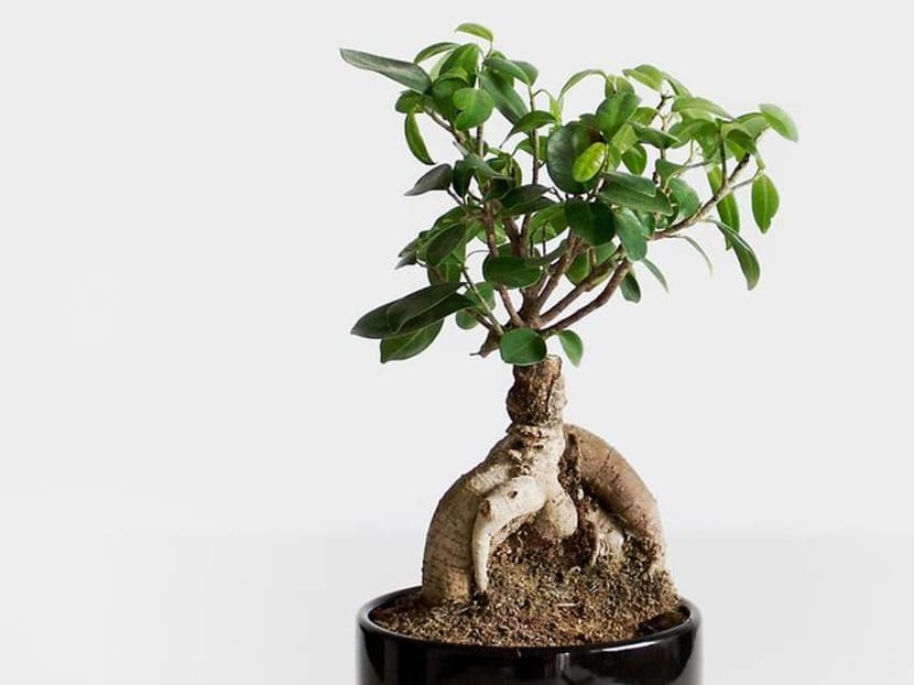 Commentary: Bringing up a bonsai is like raising a teenager