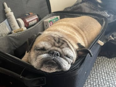 Meet Noodle, the TikTok pug who decides what your day will be like