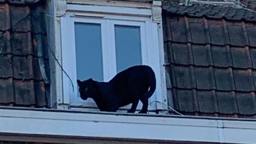 Black panther found roaming French rooftops