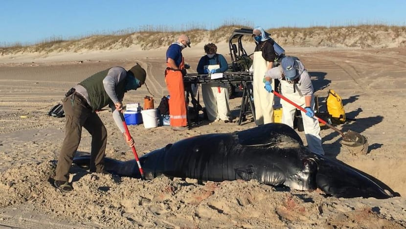 Scientists study cause of endangered whale calf's death