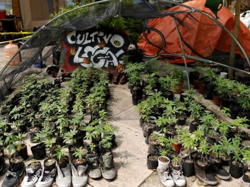 'Smoke with freedom': Mexicans get high in marijuana garden outside Senate