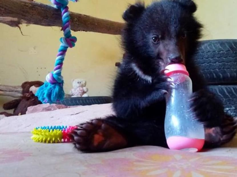 Bear necessities: Rescued cub prepares for life back in Kashmir wild