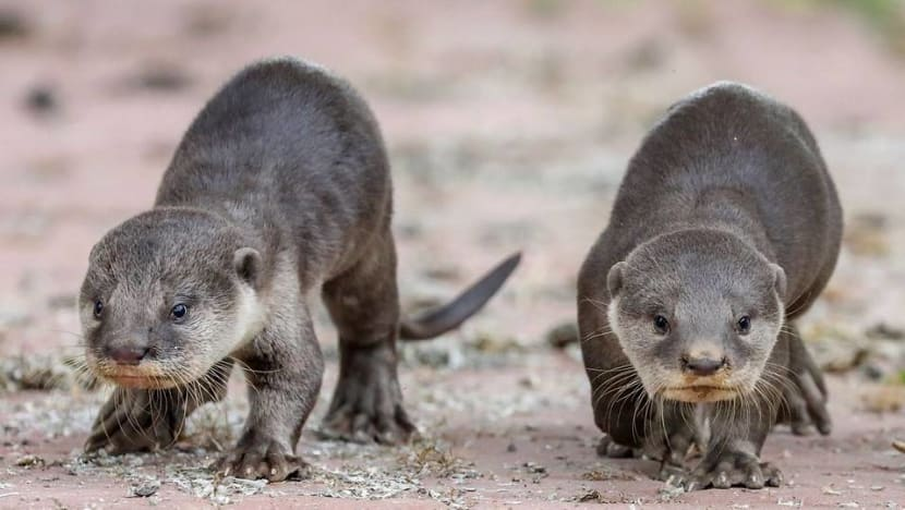 Commentary: Cute otters and pangolins get saved but are ugly animals a lost conservation cause?