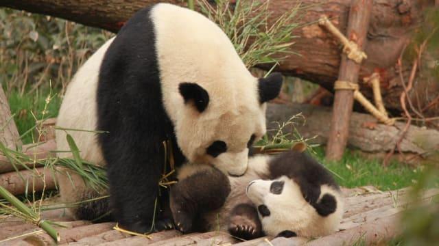 """不管""""他""""叫什么名字 雄性大熊猫就是这副""""德性""""!"""