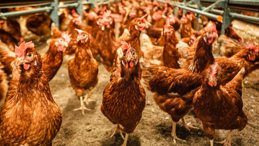 No food safety issues found at local egg farm, following complaint about poor poultry welfare: SFA