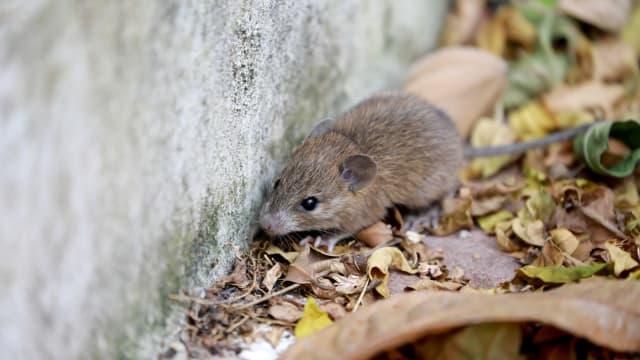研究:冠病中间宿主是啮齿动物 病毒难以消失