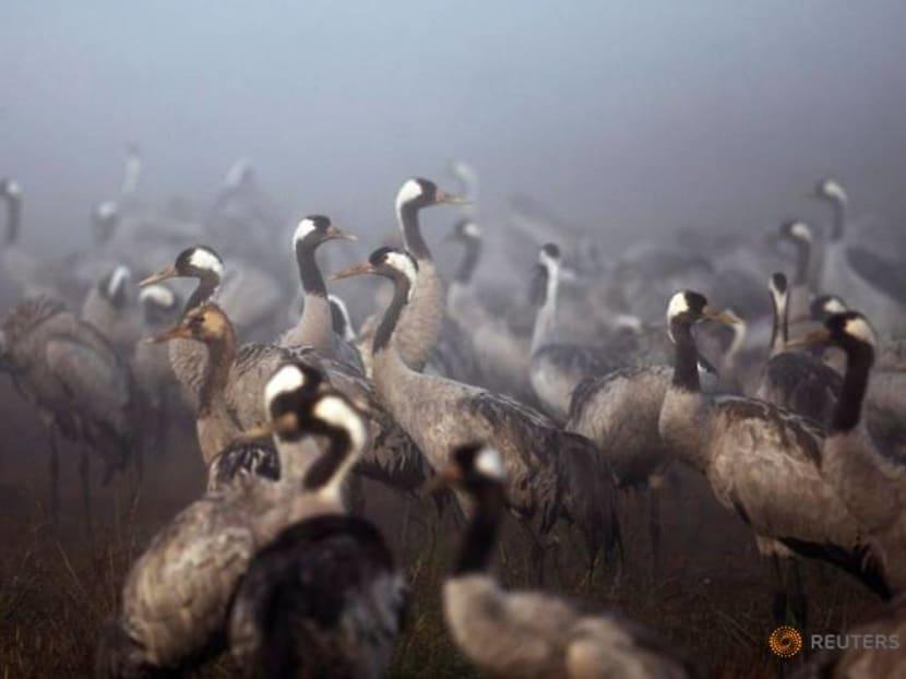 Flight delayed: crane winter migration arrives late in Israel