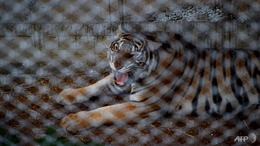 Scores of tigers rescued from infamous Thai temple have died: Reports