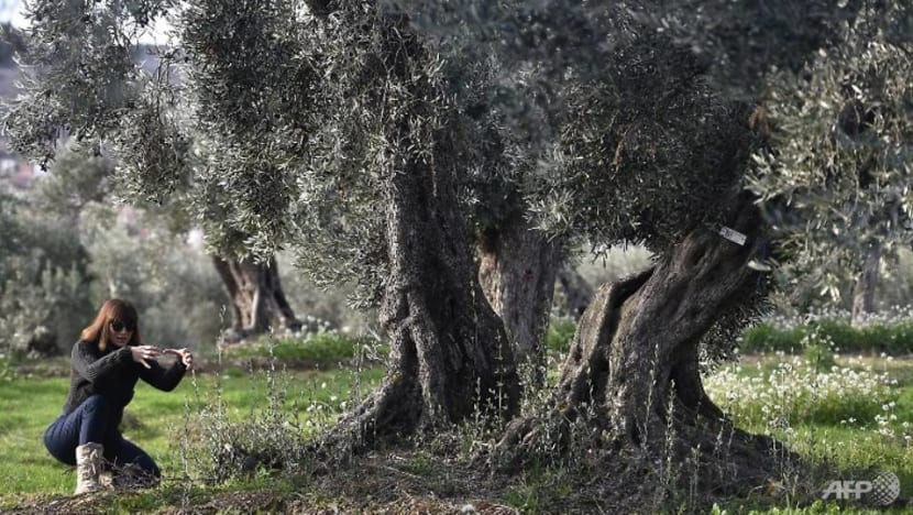 Adopt an olive tree - and breathe new life into Spanish village