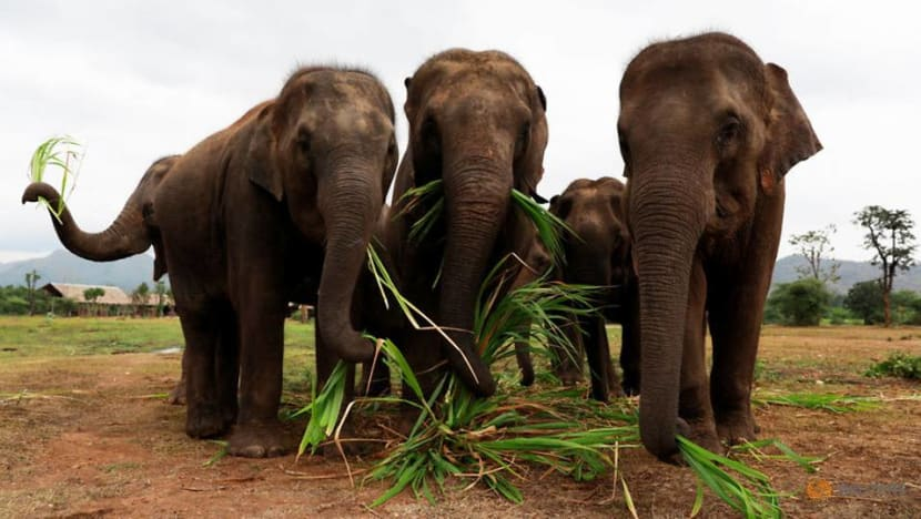 Commentary: Singapore's proposed ivory ban would help save elephants
