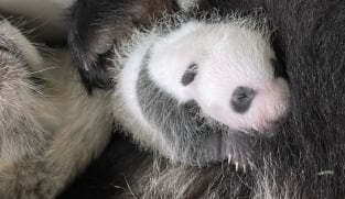 Wildlife Reserves Singapore is looking for a 'panda intern'