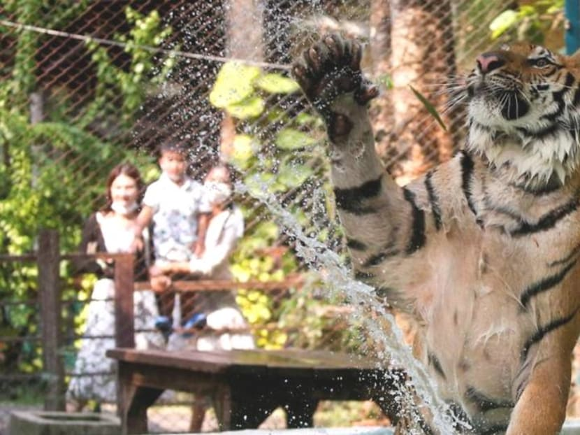 As temperatures rise, tigers get chicken ice pops at Thai zoo