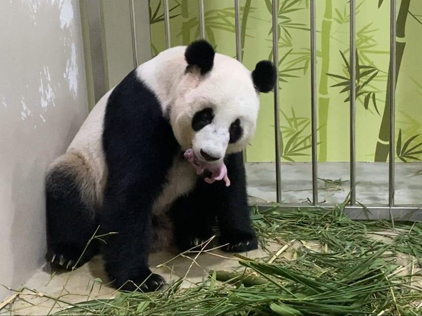 Singapore's first giant panda cub has been born to Jia Jia and Kai Kai