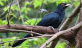Heard this bird? Koels' piercing call divides residents